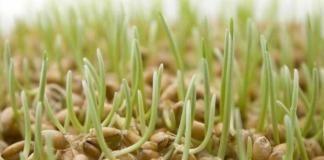 Пророщенная пшеница при онкологии