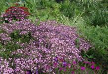 Папоротники и почвопокровные многолетники для украшения сада