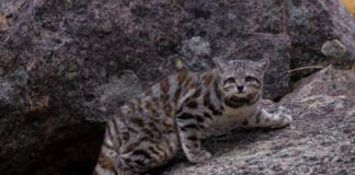Андская и Пампасская кошка: уход и содержание
