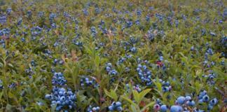 Садовая черника – аптечка в вашем саду