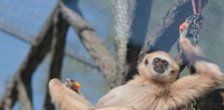 Утомленные солнцем: в зоопарке зверей кормят мороженым из мяса