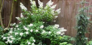 Ель и гортензия на дачном участке: ухаживаем за растениями правильно