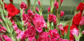 Гладиолусы, выращивание